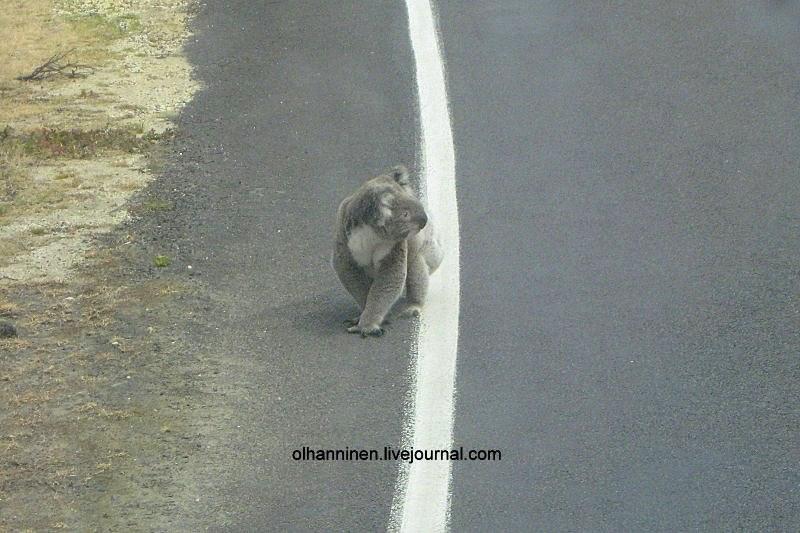 А все потому что коала Маруся не слушалась бабушку