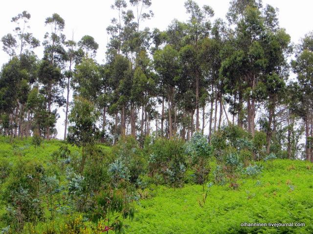 12 эвкалиптовый лес