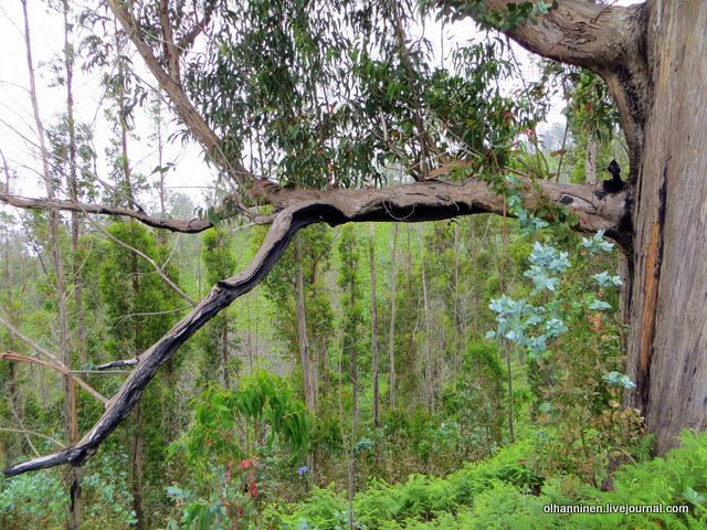 13 побеги на обгоревшей ветке эвкалипта