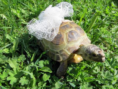 черепаха самец Алу