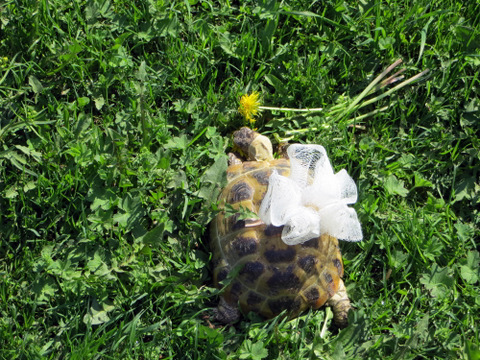 черепаха самка Майю