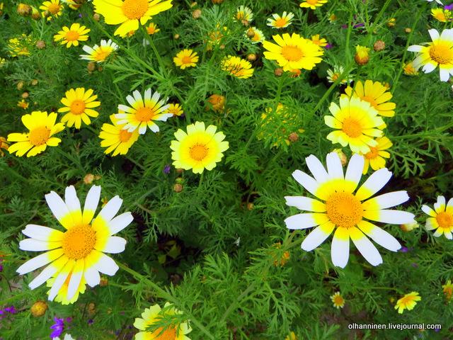 02 Афины Акрополь желтые и белые ромашки вдоль Перипата