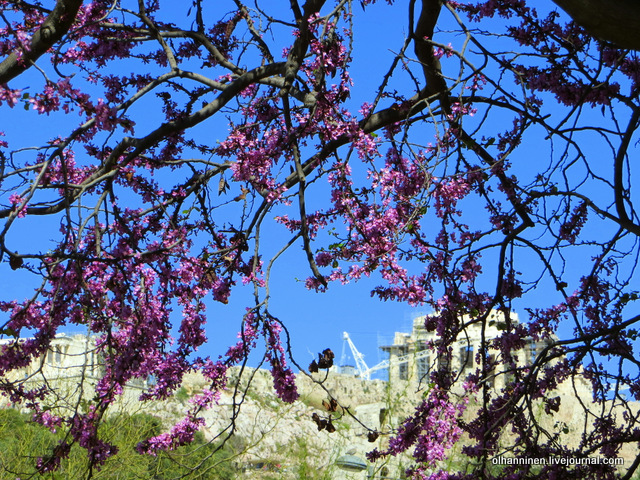 03 Афины Акрополь за цветущими деревьями вблизи