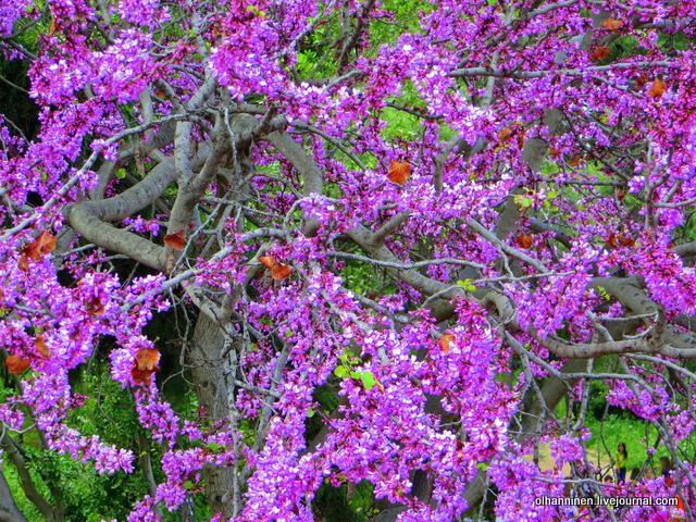04 Афины Акрополь цветущие деревья вблизи