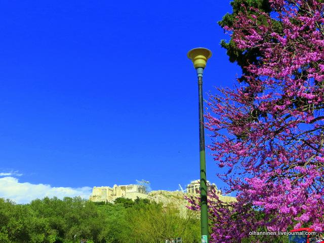 05 Афины Акрополь цветущие деревья
