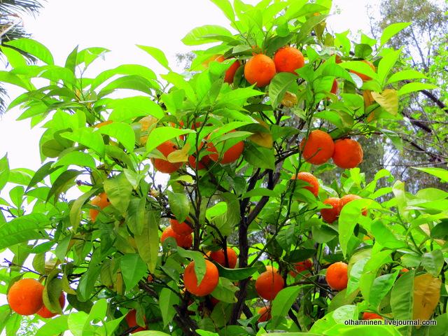 13 Афины мандарины