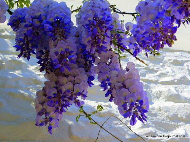 17 Гидра цветы фиолетовые вблизи