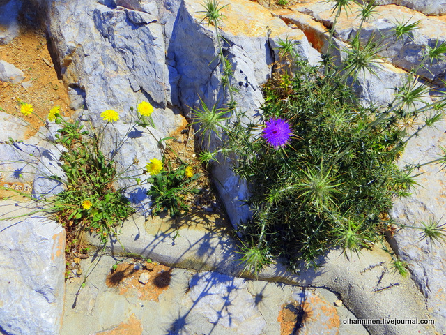 22 Эгина цветы на скалах