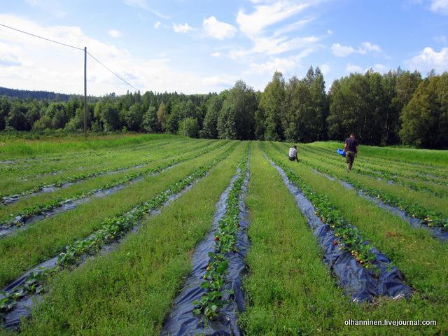 02 украинцы работают у финского фермера