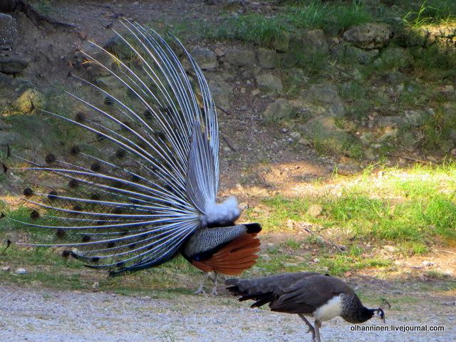 самец и самка павлина