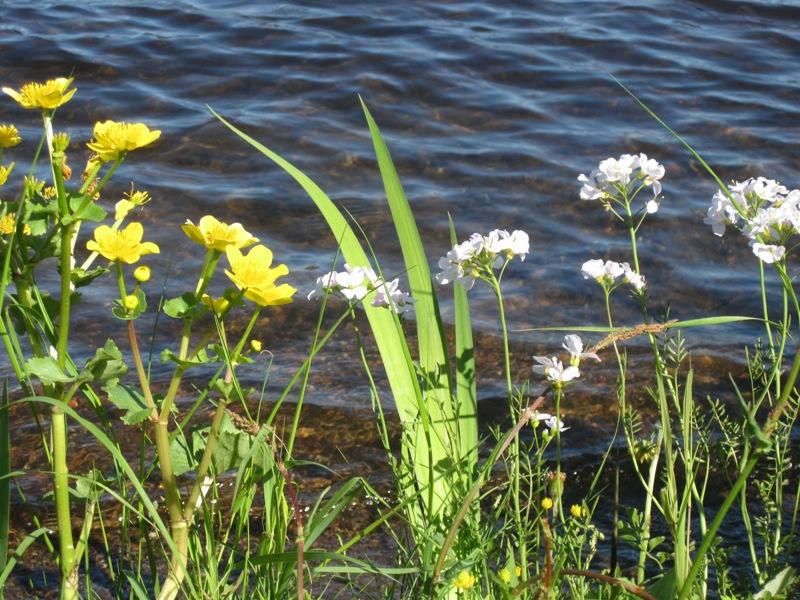 Озеро летом и цветущие растения на нем