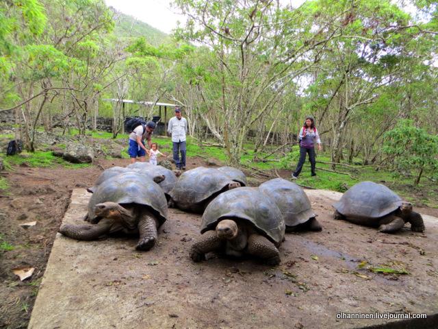 галапагосские черепахи с острова Флориана.JPG