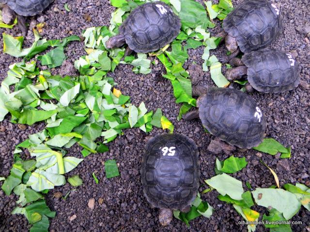галапагосские черепашата с острова Сан-Кристобаль.JPG