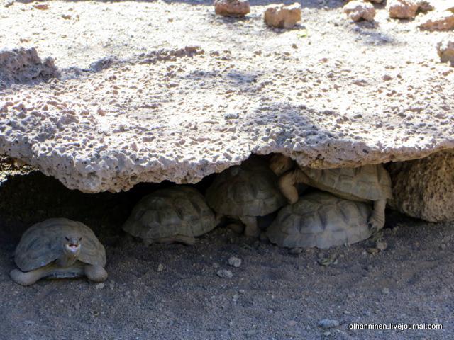 галапагосские черепашки с острова Санта-Крус.JPG