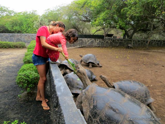 галапагосских черепах кормит девочка на острове Исабела.JPG