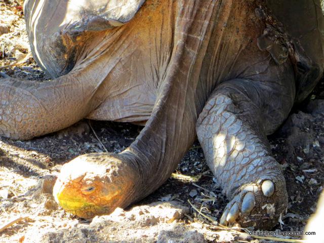 Диего, восстановивший популяцию черепах своего вида.JPG