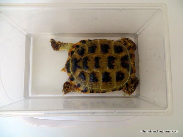 02 черепаха выставляет хвостик.JPG