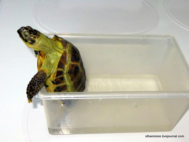 05 черепаха может попытаться вылезти.JPG