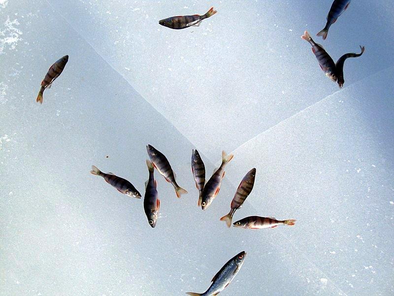 Пойманная рыба на прозрачном льду