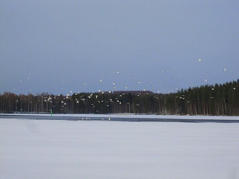 Чаек сейчас на озере у полыньи великое множество