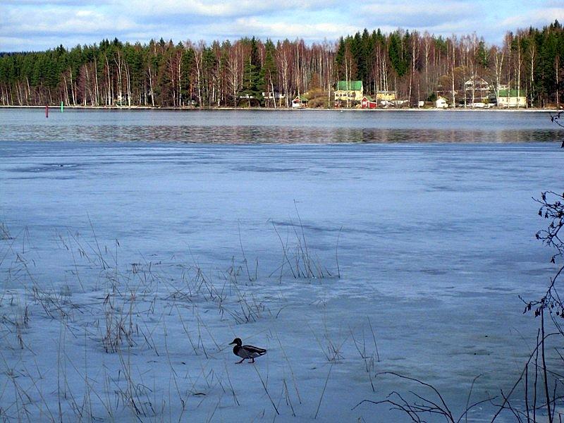 По озеру разгуливают птицы
