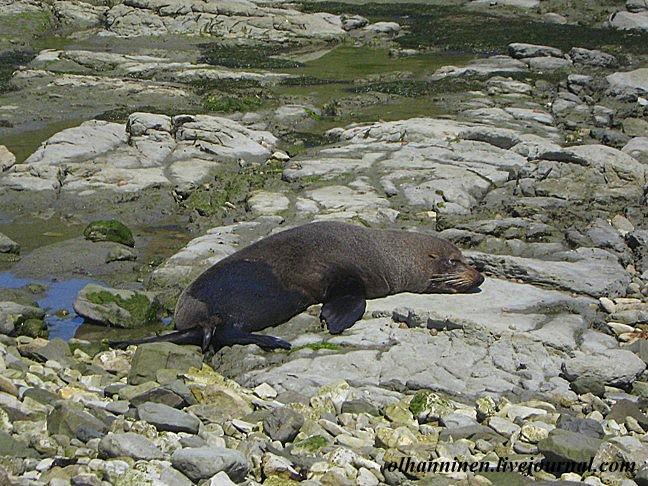 Послеобеденный сон тюленя из Каикоуры лучше не тревожить