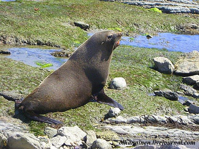 Большое лежбище тюленей находится на новозеландском побережьи Тихого океана около города Каикоура