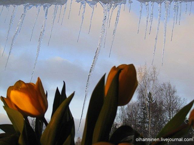 Тюльпаны на фоне сосулек на моем окне весной