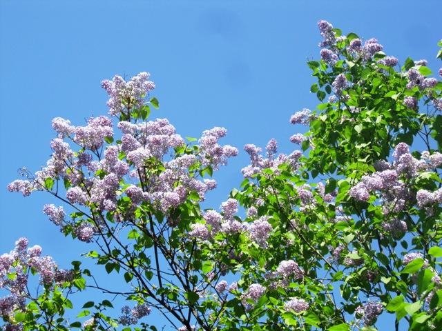 что цветет в начале апреля аллергия