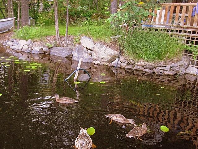 ducks sauna