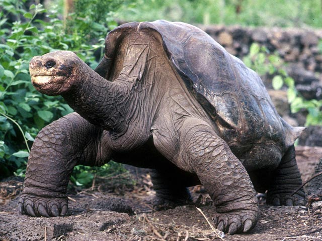 Умерла последняя галапагосская гигантская черепаха