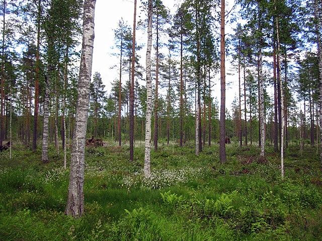 Создавая какую-то даже призрачную атмосферу, в лесах повсюду цвел болиголов