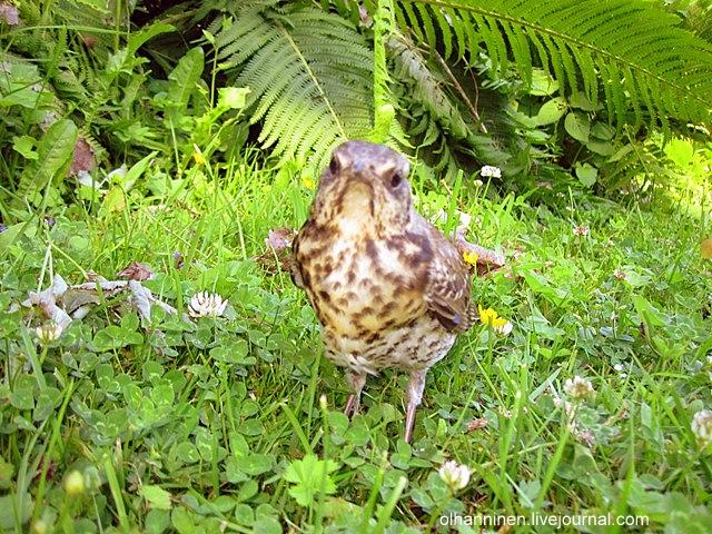 Часто эти птицы гнездятся колониями по 30-40 пар