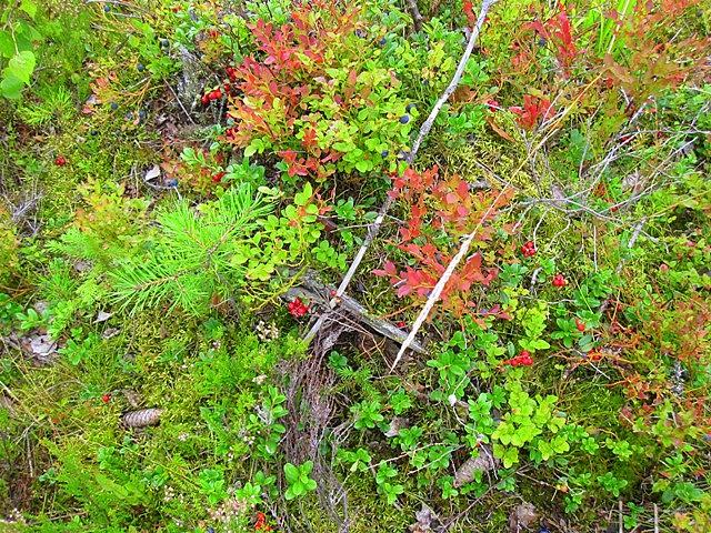 Туриста удивляет ягодное изобилие в финском лесу