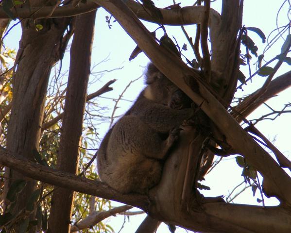 спящая против солнца коала2
