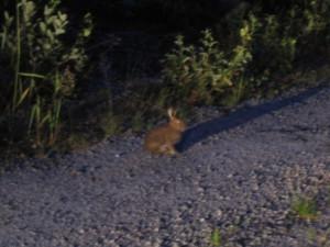 заяц в свете фар