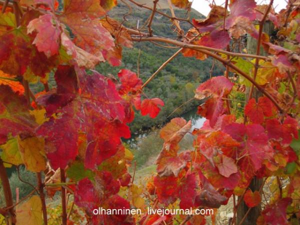 Река Дору блестит сквозь листы винограда