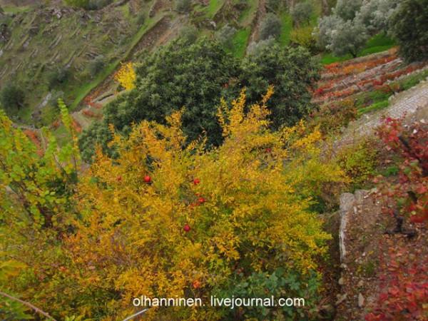 красные сливы на желтой листве