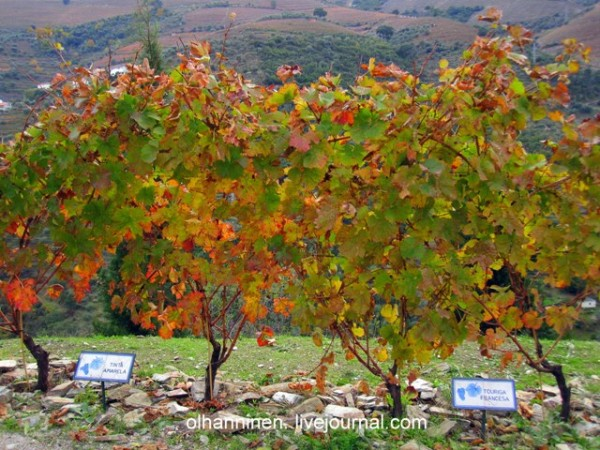 таблички с названиями сортов винограда