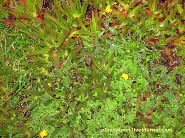 прибрежная португальская растительность