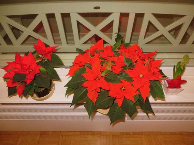 пуансеттия и луковичные рождественские цветы