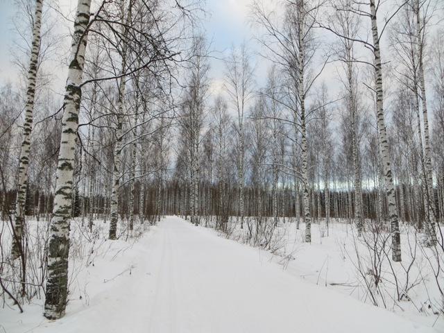 лыжня в березовом лесу