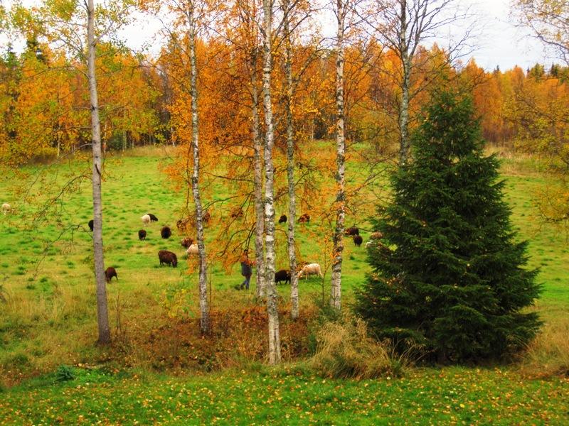 По полю напротив коттеджа гуляют разноцветные овцы