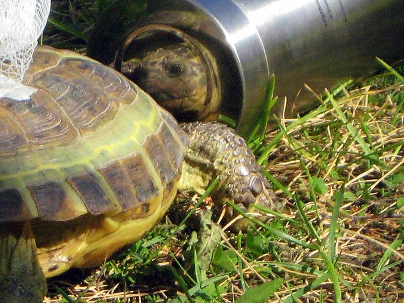 Потом черепаха пытается укусить конкурента