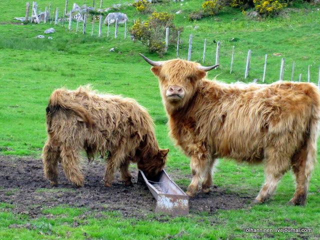 мама и теленок хемиши