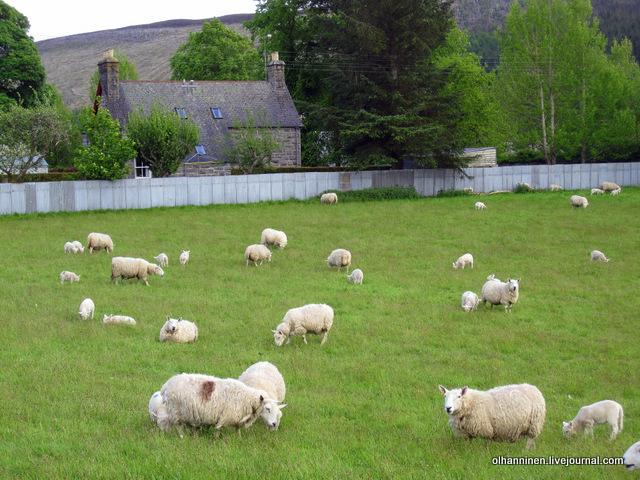 14-овечки на ферме