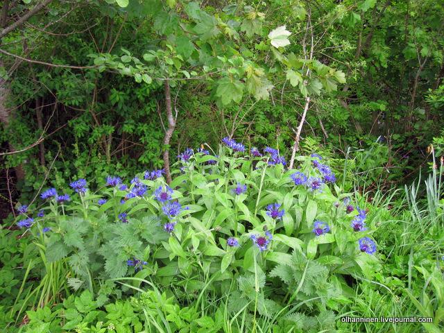 лес с синими цветами