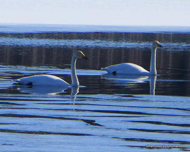 05 вокруг лебедей льдины