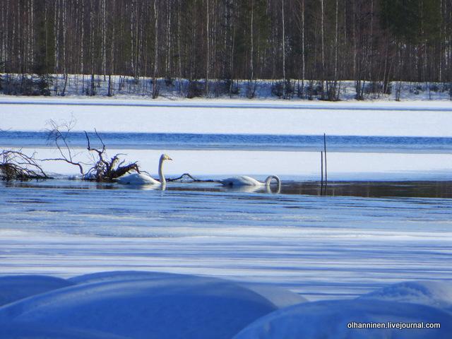 08 лебеди в открытой воде