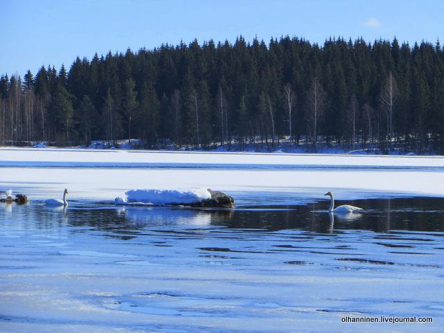 09 лебеди и окружающий пейзаж